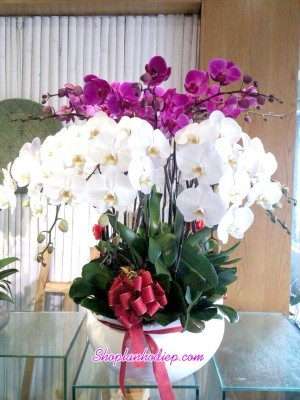 Chậu hoa gồm lan trắng và lan hồ điệp tím, tạo nên vẻ đẹp sang trọng và nổi bật.