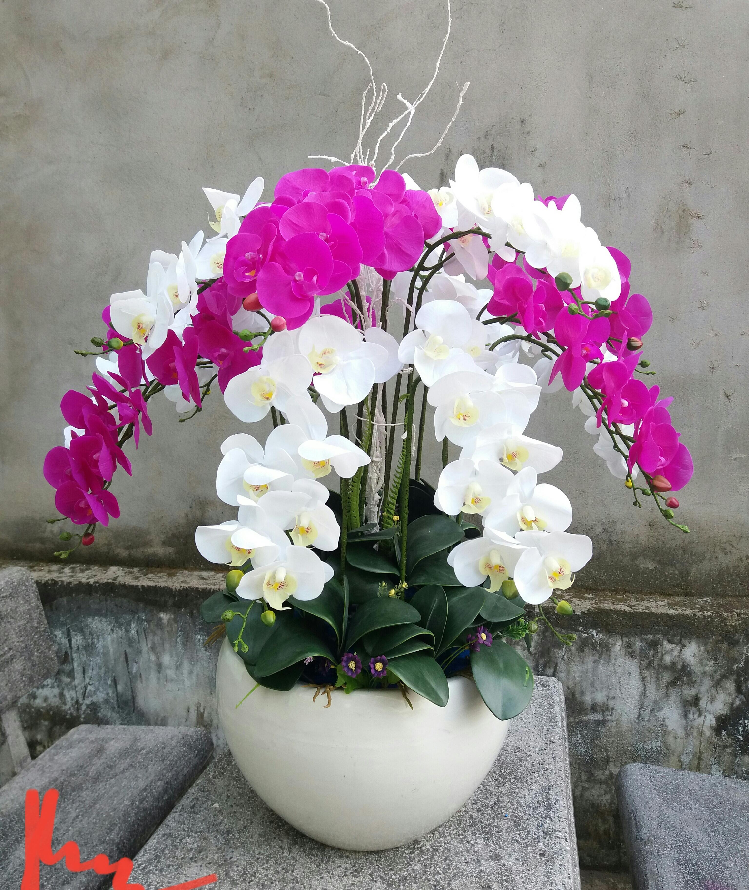 Chậu hoa lan hồ điệp Lụa tặng khai trương – mãi tươi