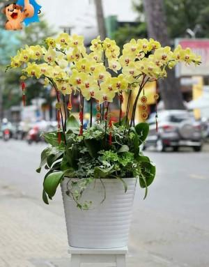 Chậu hoa khai trương lan hồ điệp vàng gồm 12 cây tươi đẹp